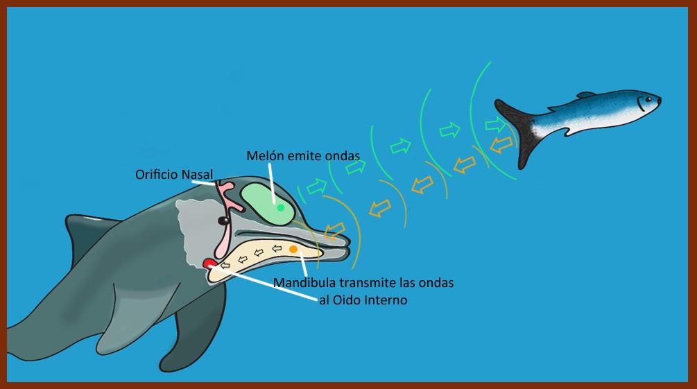 Ecolocalizacion_en_cetaceos