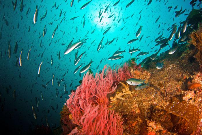 Una plataforma petrolera cerca de la isla Catalina, Californa, sustenta un hábitat saludable para los arrecifes. Crédito: Adam Obaza, NOAA Fisheries West Cast, CC BY-NC-ND 2.0