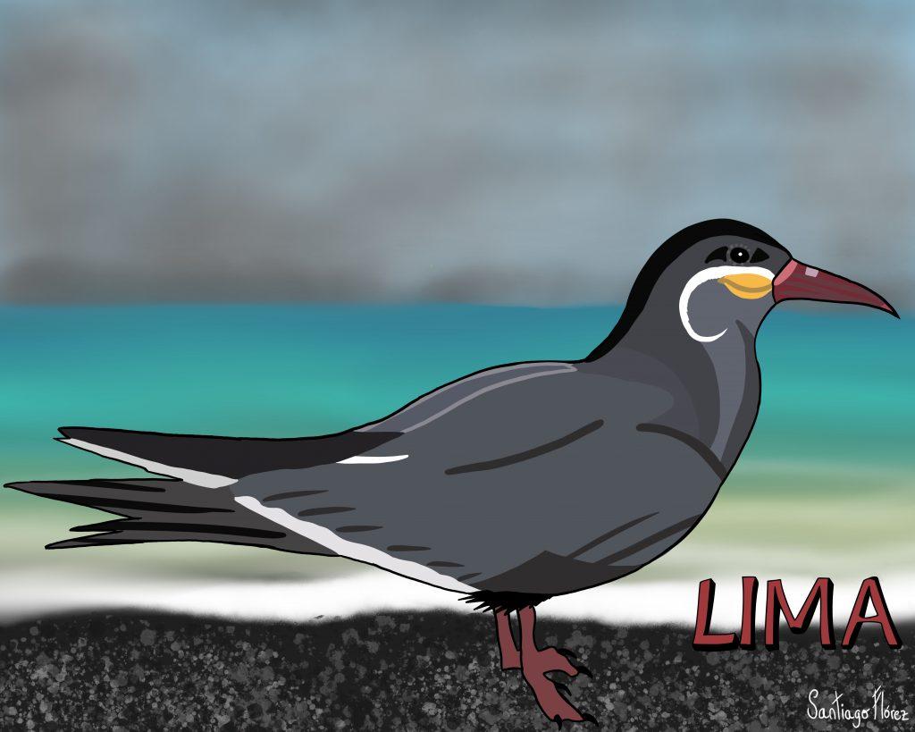 Ilustración de un gaviotín inca en Lima
