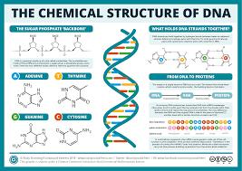 Estructura química del DNA.